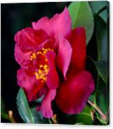 Christmas Camellia Canvas Print