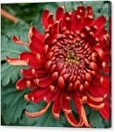 Christmas Chrysanthemum Canvas Print