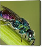 Chrysidid Wasp Canvas Print