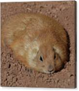 Chubby Prairie Dog Resting In A Shallow Hole Canvas Print