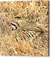 Chuckar Bird Hiding In Grass Canvas Print
