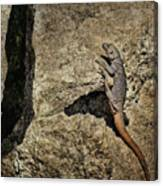 Chuckwalla - Crevice Canvas Print