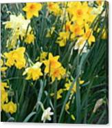 Circle Of Daffodils Canvas Print