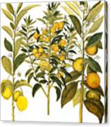 Citron And Orange, 1613 Canvas Print