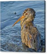 Clapper Rail Canvas Print