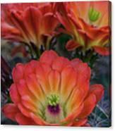 Claret Cup Cactus Flowers  Canvas Print