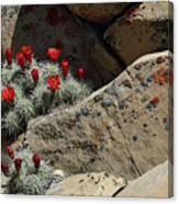 Claret Cup Cactus Nestled In Fractured Sandstone Canvas Print