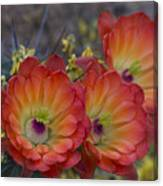 Claret Cup Cactus - Three Of A Kind  Canvas Print
