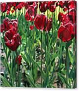 Claret Tulips  Canvas Print