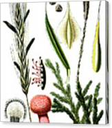 Claviceps Purpures. Recht Wolf's-foot Clubmoss, Stag's- Canvas Print