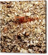 Cleaner Shrimp On Shell Covered Bottom Canvas Print