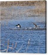 Cleared For Takeoff-ring-necked Ducks  Canvas Print