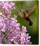 Clearwing Pink Canvas Print