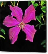 Clematis 2598 Canvas Print