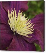 Clematis 4000 Canvas Print