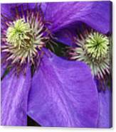 Clematis Detail Canvas Print