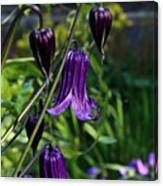 Clematis Flower Blossoms Canvas Print