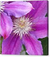 Clematis Flowers Canvas Print
