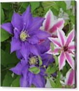 Clematis Purple And Pink White Canvas Print