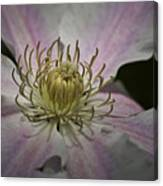 Clematis Study 1 Canvas Print