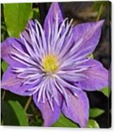 Clematis 'sunnyside' Canvas Print