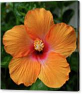Clementine Hibiscus Canvas Print