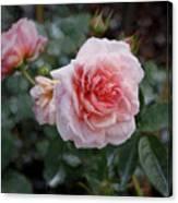 Climber Romantica Tea Rose, Digital Art Canvas Print