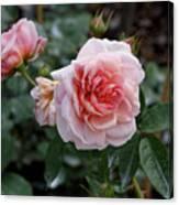 Climber Romantica Tea Rose Canvas Print