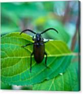 Climbing Beetle Canvas Print