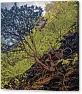 Climbing Tree Roots Canvas Print