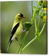 Clinging Goldfinch Canvas Print