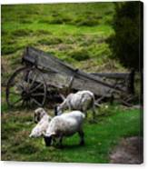 Clint's Sheep  Canvas Print