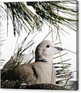 Close Up African Collared Dove Canvas Print
