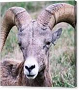 Close Up Big Horn Sheep Canvas Print
