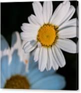 Close Up Daisy Canvas Print