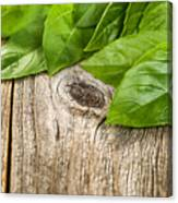 Close Up Fresh Basil Leafs On Rustic Wooden Boards Canvas Print