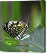 Close Up Look At A Paper Kite Butterfly On Foliage Canvas Print
