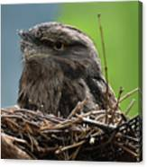 Close Up Look At A Tawny Frogmouth Sitting In A Nest Canvas Print