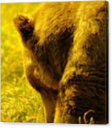 Close Up Of A Grizzily Canvas Print