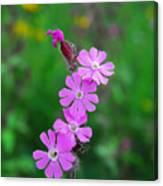 Close Up Of A Least Primrose Flower Canvas Print