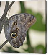 Close Up Of A Pretty Brown Morpho Butterfly  Canvas Print