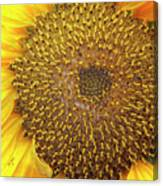 Close Up Of A Sunflower Head Canvas Print
