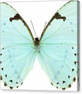 Close-up Of A White Butterfly Canvas Print