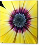Close-up Of A Yellow African Daisy Canvas Print