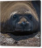 Close-up Of Elephant Seal Looking At Camera Canvas Print