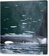 Close-up Of Killer Whale In Johnstone Canvas Print