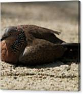 Close-up Of Mottled Pigeon On Sandy Ground Canvas Print