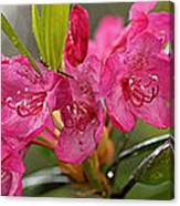Close-up Of Pink Horatio Flowers Canvas Print