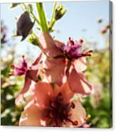 Close-up Of Pink Mullein Flowers Canvas Print
