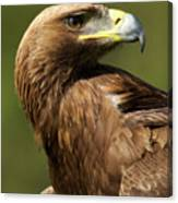 Close-up Of Sunlit Golden Eagle Looking Back Canvas Print